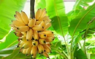أهم فوائد الموز التي يقدمها لصحة الجسم